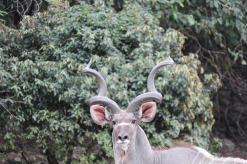Wokini kudu bull